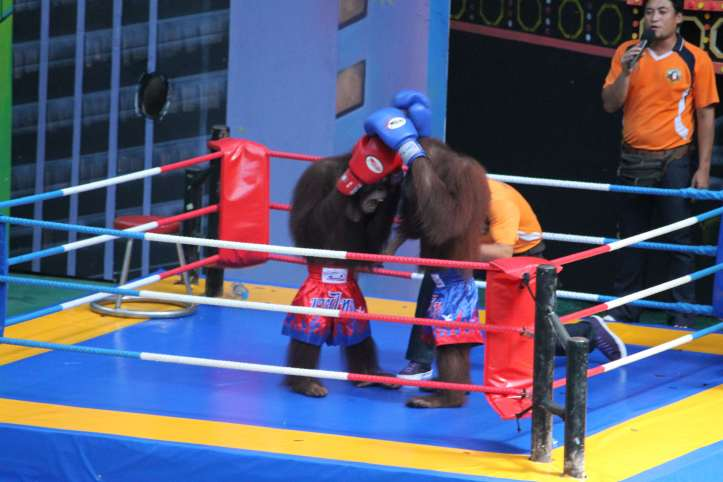 Orang-utan Boxing show